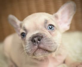 Chuck - French Bulldog Puppy for sale