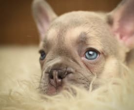 Calvin - French Bulldog Puppy for sale