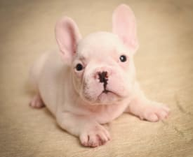 Davide - French Bulldog Puppy for sale