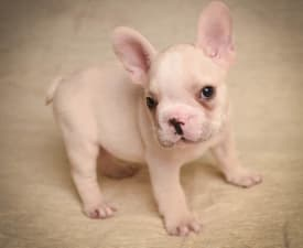 Dino - French Bulldog Puppy for sale