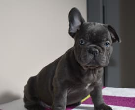 Johnny - French Bulldog Puppy for sale