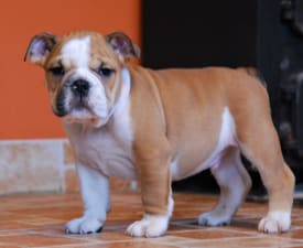 Rengőhegyi-ormán Kendrick - Bulldog Puppy for sale
