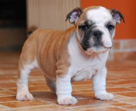 Rengőhegyi-ormán Kimberly - Bulldog Puppy for sale