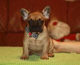 Alfred - French Bulldog Puppy for sale