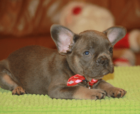 Balthazar - French Bulldog Puppy for sale