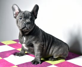 Kabal - French Bulldog Puppy for sale