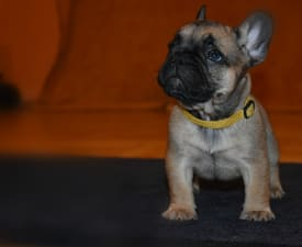 Ninette  - French Bulldog Puppy for sale