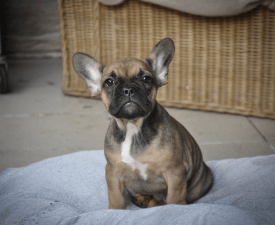 Vera - French Bulldog Puppy for sale