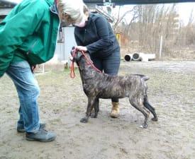 Marina De Presa Jurida Liget - Dog kanaryjski Szczenię na sprzedaż