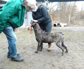 Marina De Presa Jurida Liget - Canary dog Puppy for sale