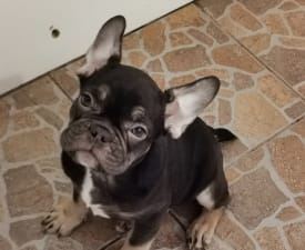 Ragnar  - French Bulldog Puppy for sale