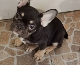Kelly - French Bulldog Puppy for sale
