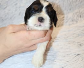 Koricockers Olga - American Cocker Spaniel Puppy for sale
