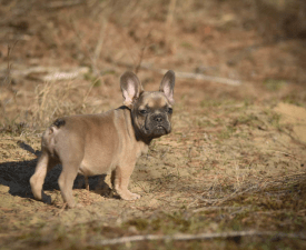 Morty - French Bulldog Puppy for sale
