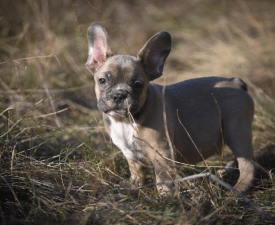 Morris - French Bulldog Puppy for sale