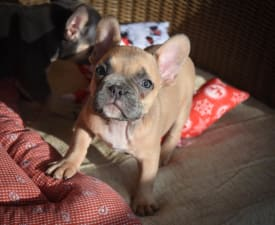 Mina - French Bulldog Puppy for sale