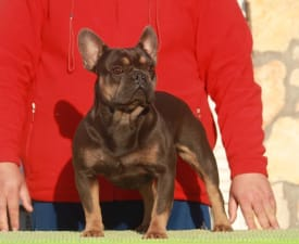 Walter - French Bulldog Puppy for sale
