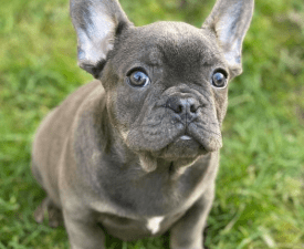 Noé - French Bulldog Puppy for sale