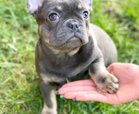Lucie - French Bulldog Puppy for sale