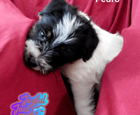 Joyful Jack Pedro - Jack Russell Terrier Puppy for sale