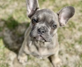 Leó - French Bulldog Puppy for sale
