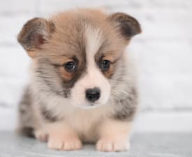 Someone You Love Mendenhall - Pembroke Welsh Corgi eladó kiskutya