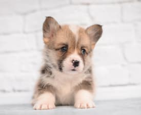 Simply The Best Mendenhall - Pembroke Welsh Corgi eladó kiskutya