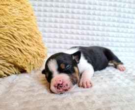 Heryers Benizatto - American Staffordshire Terrier Puppy for sale