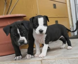 Buttercup - American Staffordshire Terrier Puppy for sale