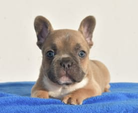 Sarah - French Bulldog Puppy for sale