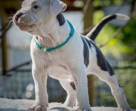 Cortez Junior Of Sweet Gangland - American Staffordshire Terrier Puppy for sale