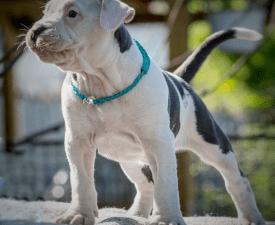 Cortez Junior Of Sweet Gangland - Amerikai staffordshire terrier eladó kiskutya