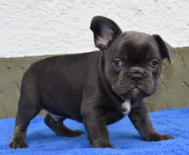Charlie - French Bulldog Puppy for sale