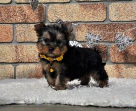 Spirit Of The Magic - Yorkshire Terrier Cățeluș de vânzare