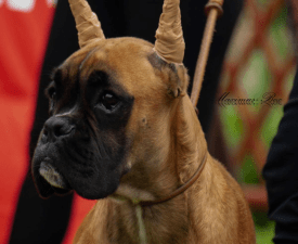 Xyxtos - German Boxer Puppy for sale
