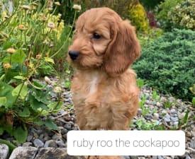 Ruby Roo The Cockapoo - Cockapoo Cățeluș de vânzare