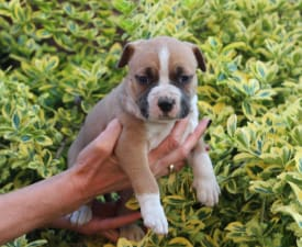 Abraham Lincoln Of Amstaff Planet - American Staffordshire Terrier Puppy for sale