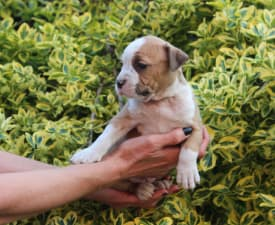 Aretha Franklin Of Amstaff Planet - American Staffordshire Terrier Puppy for sale