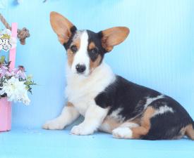 Mango Iz Gvardii Corgos - Welsh Corgi Cardigan Puppy for sale