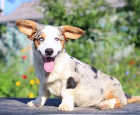 Mandarin Iz Gvardii Corgos - Welsh Corgi Cardigan Puppy for sale