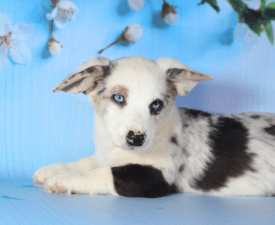 Macadamia Iz Gvardii Corgos - Welsh Corgi Cardigan Puppy for sale