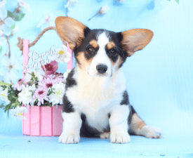 Miracle Iz Gvardii Corgos - Welsh Corgi Cardigan Puppy for sale