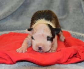 Mia - American Staffordshire Terrier Puppy for sale