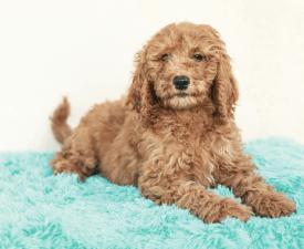 Sasha - Goldendoodle eladó kiskutya