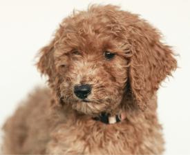 Zoe - Goldendoodle eladó kiskutya