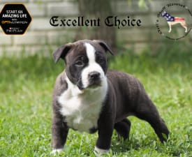 Artis Excellent Choice - American Staffordshire Terrier Puppy for sale
