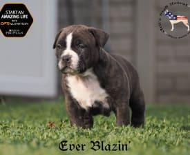 Artis Staff Ever Blazin - American Staffordshire Terrier Puppy for sale