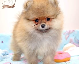 Cheerful Life Boo - Pomeranski špic Štenci na prodaju