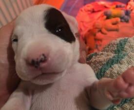 Boyka Valiente Cazador Blanco - Argentinski pas Štenci na prodaju