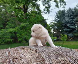 Boyka - Central Asia Shepherd Dog Puppy for sale